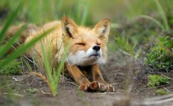 4924805-R3L8T8D-650-amazing-fox-photos-3-650x400